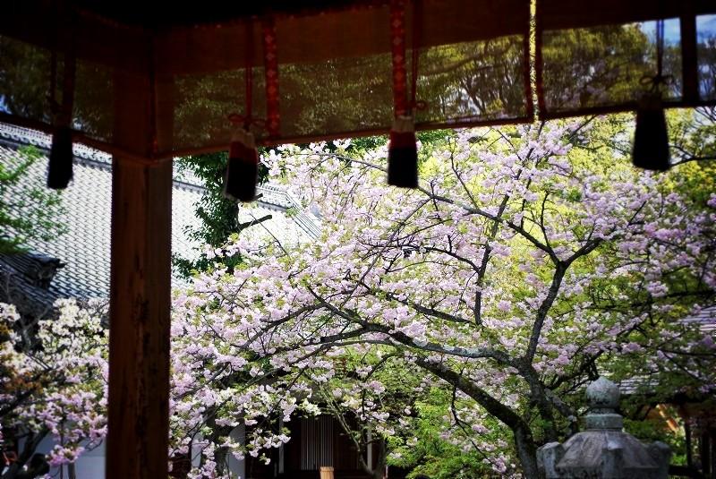 平野神社 拝殿と桜