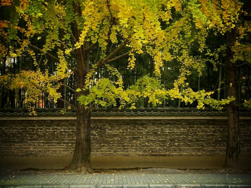 今宮神社 イチョウの並木参道