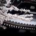 温泉寺 有馬温泉 桜