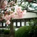 三十三間堂 早咲きの桜