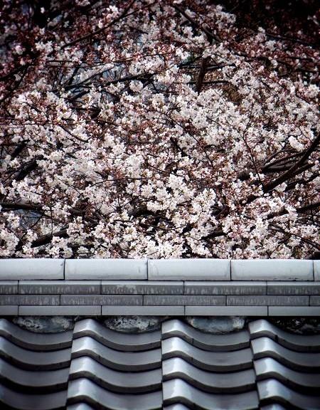 随心院 桜