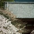 醍醐寺 仁王門と桜