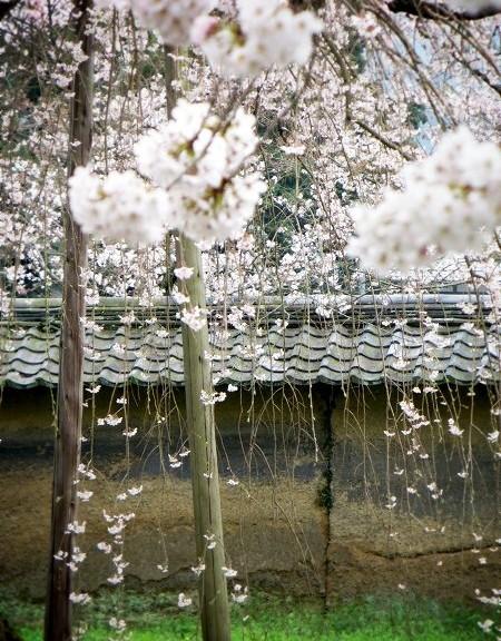 醍醐寺 境内の桜