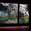 宝泉院 桜の額縁庭園
