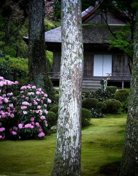 大原 三千院の石楠花