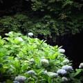 明月院 境内の紫陽花