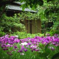 東慶寺 花菖蒲