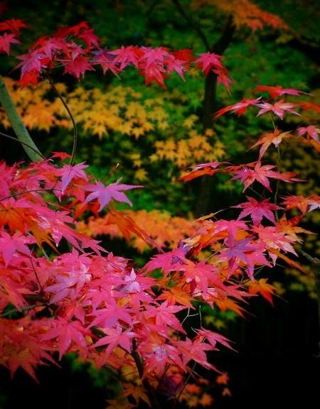 高桐院 境内の紅葉