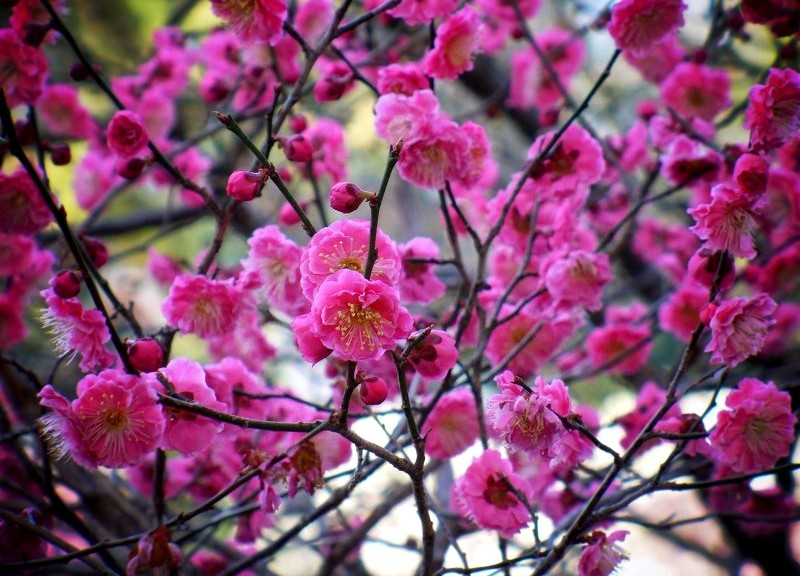 北野天満宮 濃紅の梅