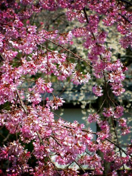 京都御所 可憐な桜