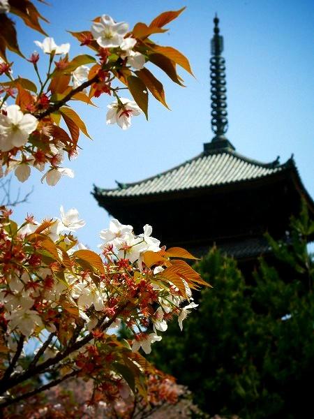 仁和寺 御室桜と五重塔