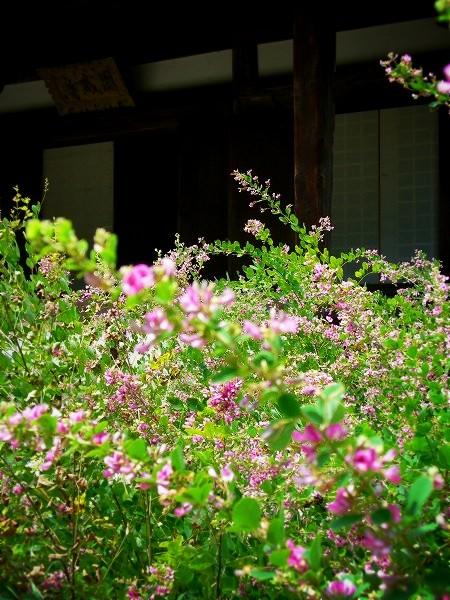 円成寺 庭園の萩