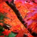 大原野神社 境内の紅葉