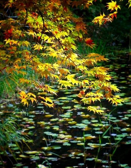 大原野神社 鯉沢の池