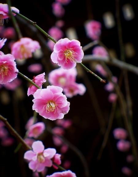 北野天満宮 枝垂れ梅