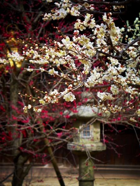 北野天満宮 紅白の梅