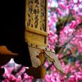 北野天満宮 梅と吊灯籠