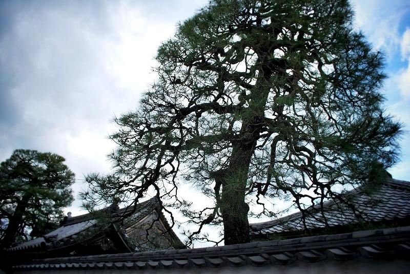 西方尼寺 境内の松