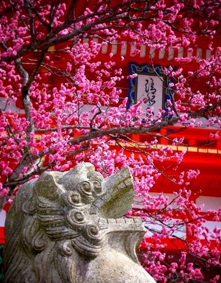 清水寺 狛犬と梅