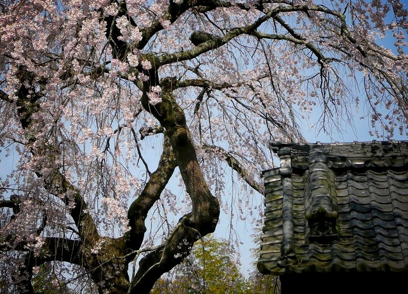 地蔵禅院 枝垂れ桜