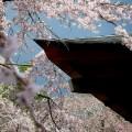 天龍寺 多宝殿と桜