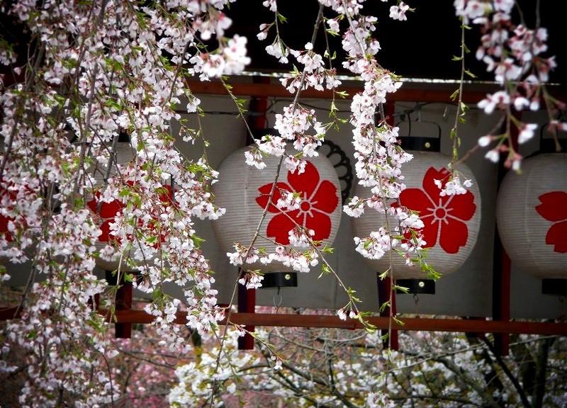 平野神社 東神門の桜