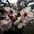 粉河寺 早朝の桜