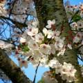 粉河寺 境内の桜
