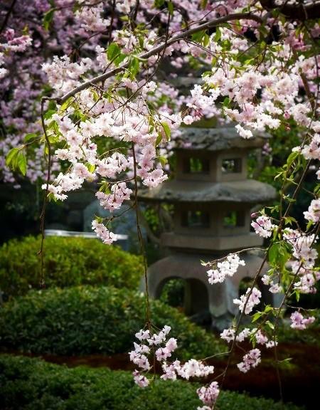洛翠 桜と石灯籠