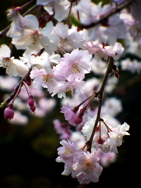 洛翠 枝垂れ桜