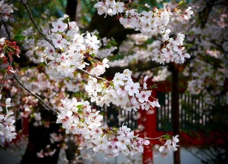 平安神宮 応天門の桜