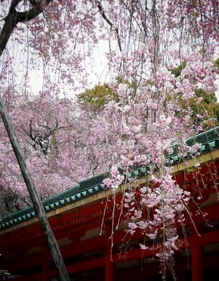 平安神宮 枝垂れ桜