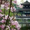 平安神宮 泰平閣と桜