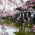 平安神宮 尚美館と桜