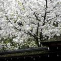 平野神社 白雲