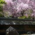 龍安寺 桜と石庭