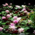 洛翠の庭園 睡蓮