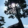 林光院 門前の松