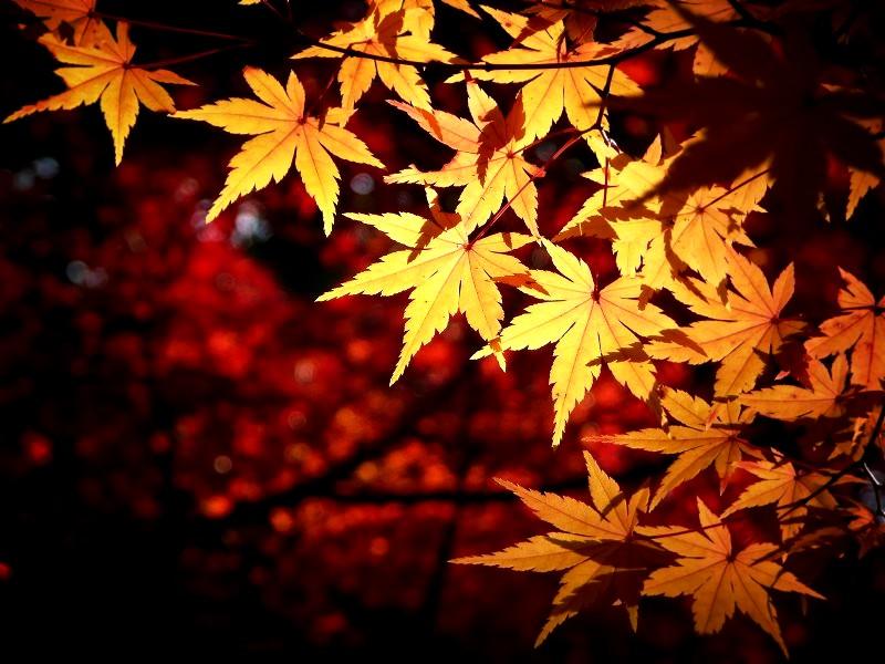 長岡京市 光明寺の紅葉